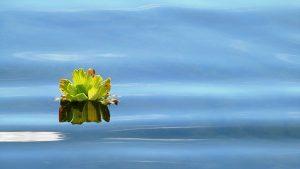 Single flower floating on water